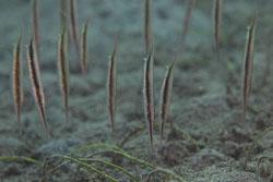 BD-151224-Dauin-9878-Aeoliscus-strigatus-(Günther.-1861)-[Razorfish.-Bajonettfisk].jpg